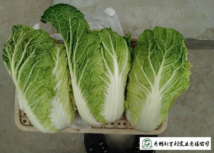 Big Size All Season Cabbage , Organic Napa Cabbage Japan Standard Own Bases