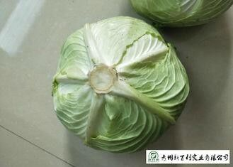 Round Chinese Manufactured Cabbage 2 Kg / Per No Pesticide Residue