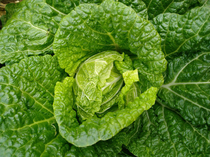 Delicious Raw Fresh Green Cabbage No Pesticide Residue Rich In Vitamin C